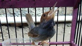 Burung Prenjak Kepala Merah Jantan Gacor Dor Ngeplong | Terapi Atasi Perenjak Tamu Malas Berkicau