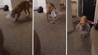 Pup With Cone On Head Tries To Play Ball