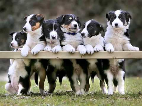 Border Collie Puppies | Set Of Dogs & Dog Breed Picture Ideas