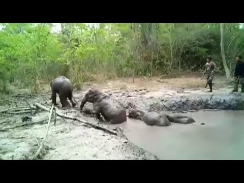 McCabe - Thai Officials Help 6 Baby Elephants Stuck in Mud