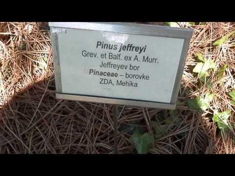 Jeffreyev bor in rumeni bor (Pinus jeffreyi in Pinus ponderosa), Botanični vrt Maribor, Slovenija