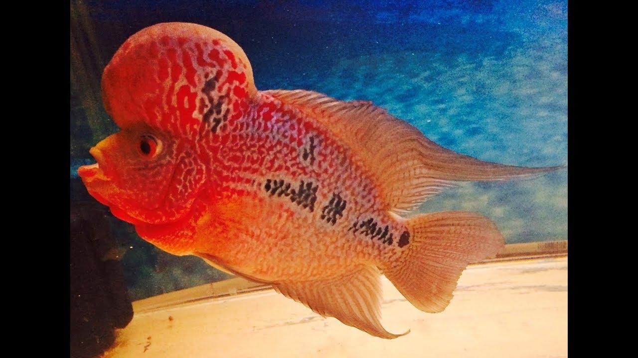 Kamfa Tiger Luo Han Flowerhorn Fish From Thailand - YouTube