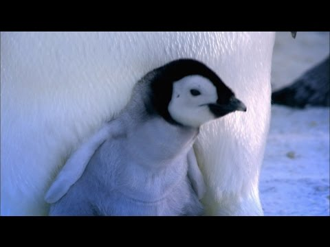 Baby Emperor Penguins Emerge from Their Shells | Nature on PBS