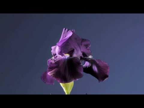 Iris blue flowers opening time-lapse - YouTube