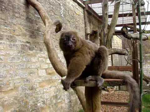 Bamboo Lemur at Cotswold Wildlife Park