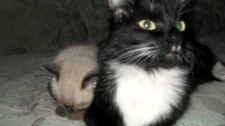 Как растут сиамские котята