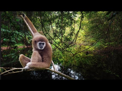 Gibbon Calls & Jungle Birds Sounds By The River - Relaxing Rainforest Sounds Of Thailand