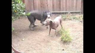 Pit Bull And Poodle Wrestle