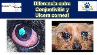 De perros en ojos inflamación alrededor los