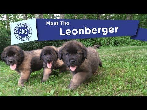 AKC's Meet the Leonberger