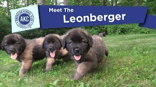 AKC's Meet the Leonberger