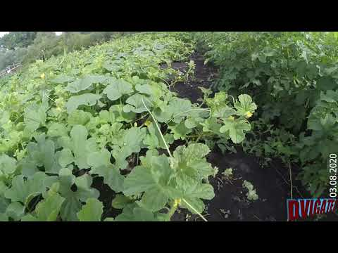 Огород на конец августа 2020, прививки груши, картофель и пр.