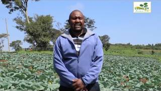 Utugi TV- Cabbage Farming