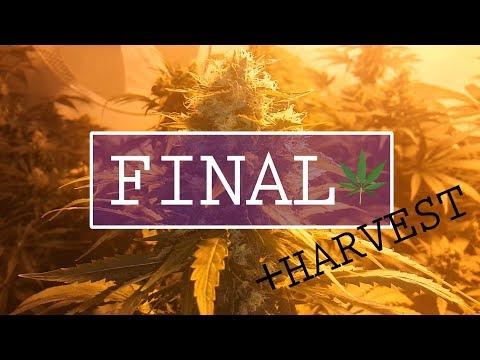 Week 6 to Harvest !!  - Final episode - Cannabis grow Room