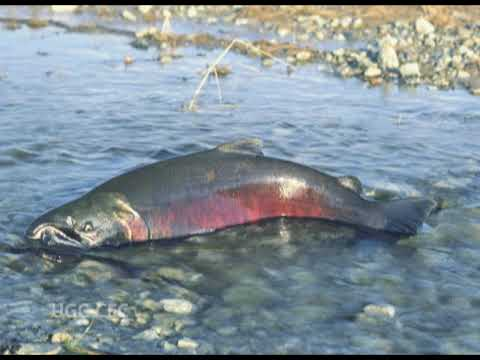 Migration, Parental Care, Respiration Of Fishes