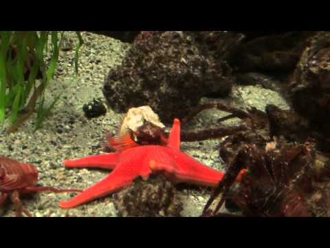 Starfish Eating A Crab