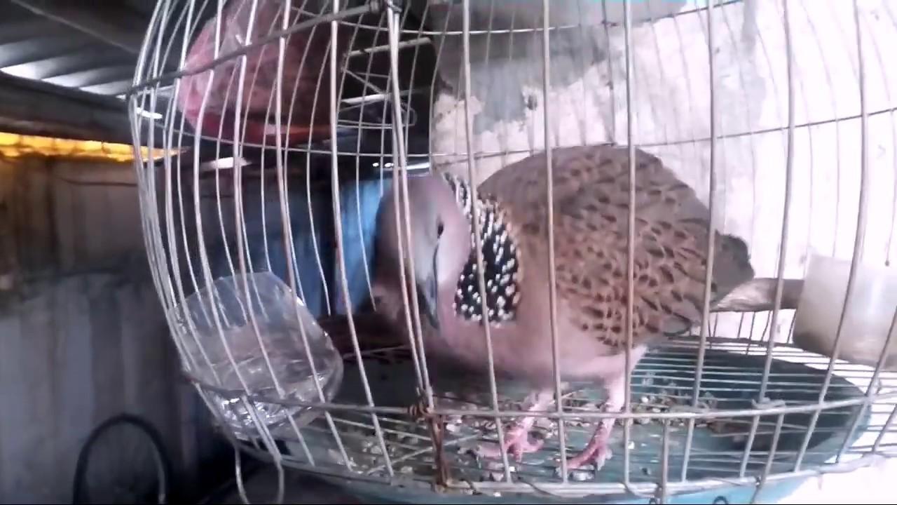 Chim cu gáy,gáy gù bá đạo|||bán chim cu gáy sinh sản và chim cu khách|| Chim Đã Bán