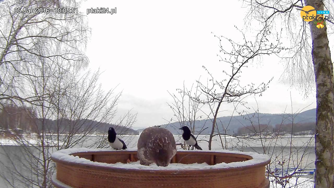 Myszołów i sroki w karmniku dla ptaków drapieżnych w Bieszczadach