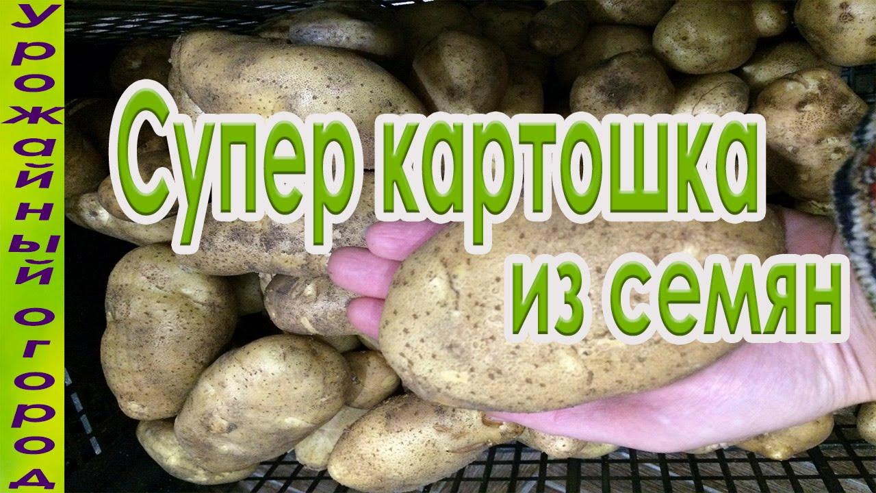 Как вырастить картофель из семян — Дачные советы
