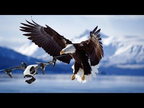 Adler vs Drohnen ► die Polizei rüstet auf!