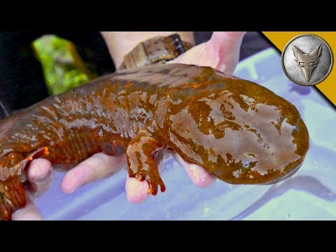 GIANT SALAMANDER FOUND!