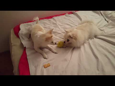 German Spitz: Playful breed
