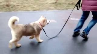 Учим щенка ходить на поводке. Маламут Булка