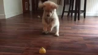 Golden Retriever Puppy Confronts Mysterious Lemon Slice