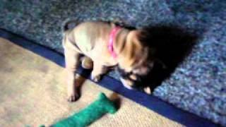 Shar Pei Puppies Vicious Attack