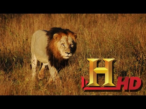 Lions Documentary 2016 HD Full Lions Documentary !