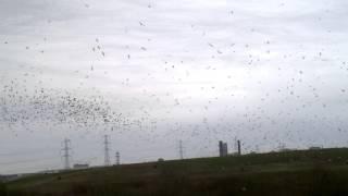 Winter flocks at Beddington Farmlands