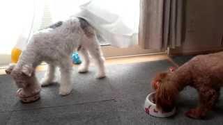 2匹で朝ご飯☆いつもワイフォのが早く食べ終わります。トイプードルって...