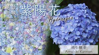 【絶景茨城】紫陽花 雨引観音 |VISIT IBARAKI,JAPAN