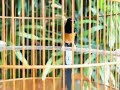 Murai Batu Medan Ekor Panjang Gacor  Mp3 - Mp4 Download