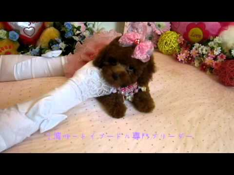 Toy teacup Poodle Puppy #096 - Teacup Poodle,Toy Poodles,Pocket Teacup poodle,Puppies For Sale