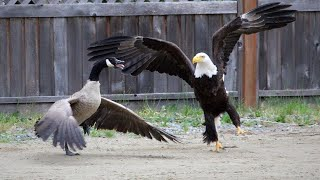 Bald eagle vs  Canada goose in the battle; Dutch police train eagles to combat drones   Compilation