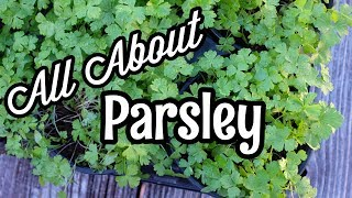 All About Parsley
