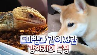 도마뱀이랑 같이자란 강아지특징 - 기어다님ㅋㅋㅋ   도…