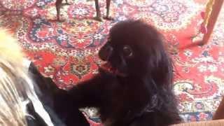 Пекинес щенок, реакция после первого купания