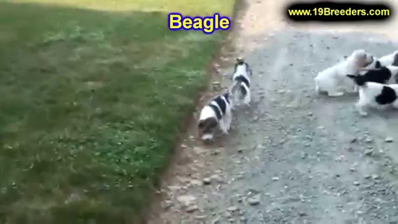 Beagle, Puppies, Dogs, For Sale, In Miami, Florida, FL ...