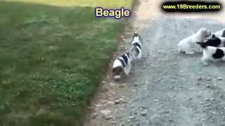 Beagle, Puppies, For, Sale, In, Jacksonville,florida, Fl,tallahassee,gainesville,