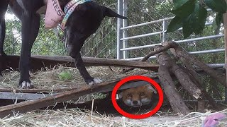 A Farmer Was Set To Shoot This Baby Fox, But Fate Stepped In And An Adorable Friendship Bloomed