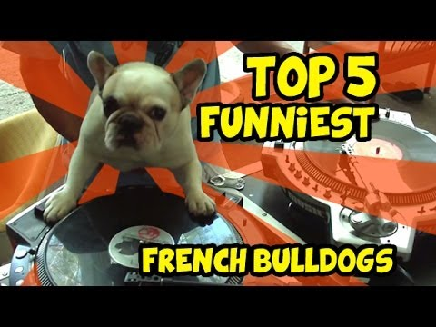 TOP 5 OF THE BEST FRENCH BULLDOG VIDEOS