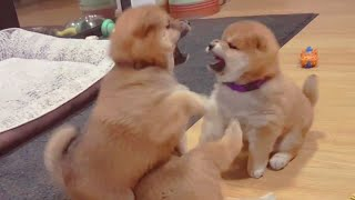 Cotton candies bumping each other / Shiba Inu puppies (with captions)