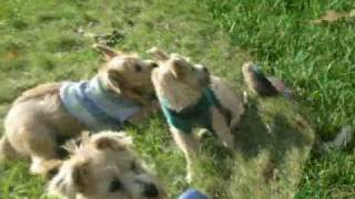 Cairn Terrier Rescue Puppies In Nj- Part 5 Of 5