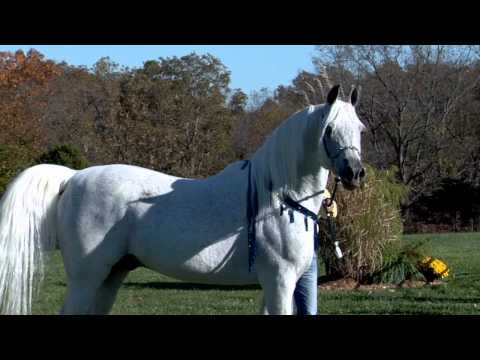 World Champion Hadidi (Norus x Hebet Allah) Grey Straight Egyptian Arabian Stallion | Two Silos Farm