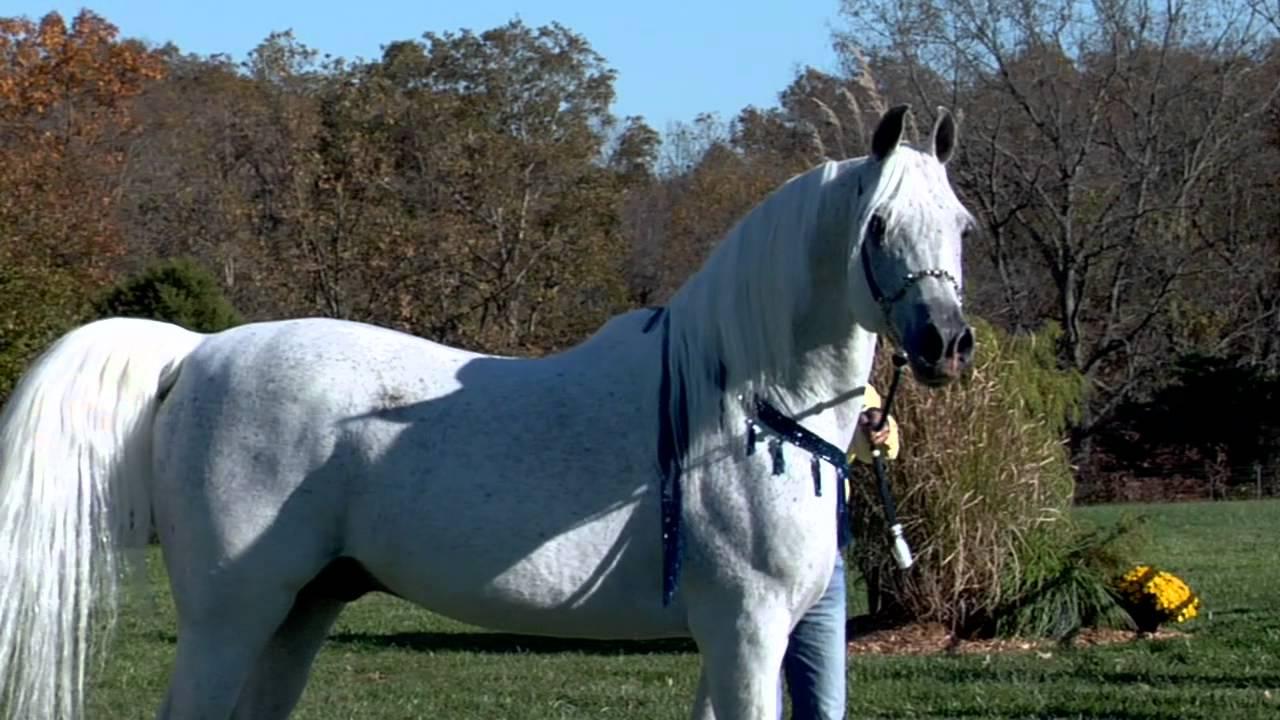 World Champion Hadidi Norus x Hebet Allah Grey Straight
