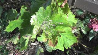 Grape Vine problems Bugs! Grapeleaf Skeletonizer, Harrisina americana