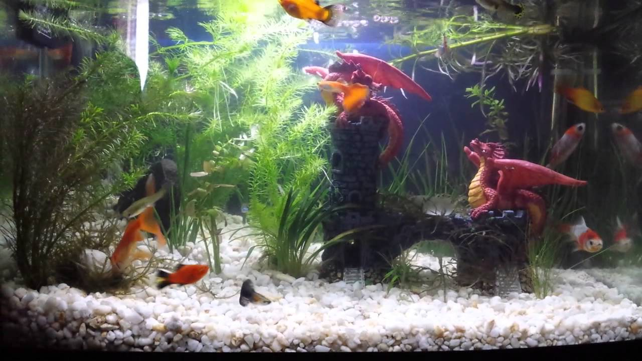 cold water and tropical fish together in one tank youtube