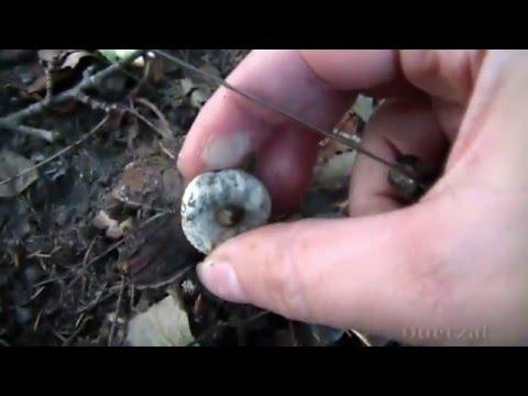 Редкий гриб земляная звезда